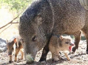 Photo from http://j-walkblog.com/index.php?/weblog/comments/20649, originally credited thus: I found this photo at the Arizona Daily Star gallery. Watching a herd of javelinas eating sunflower seeds from the ground. The baby was upset because the mother had just brushed him with her nose (and the cholla stuck to it was sharp)! Photo taken by David Baker.